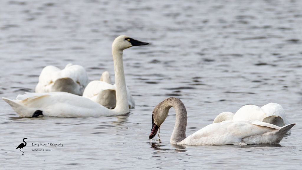 Adult and juvenile Tundra Swan