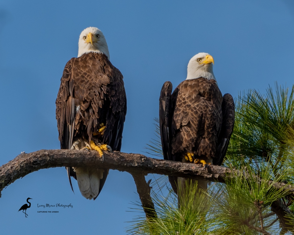 Bald Eagle Mated Pair