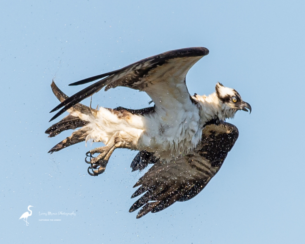 Osprey Shaking Off Water After A Dive