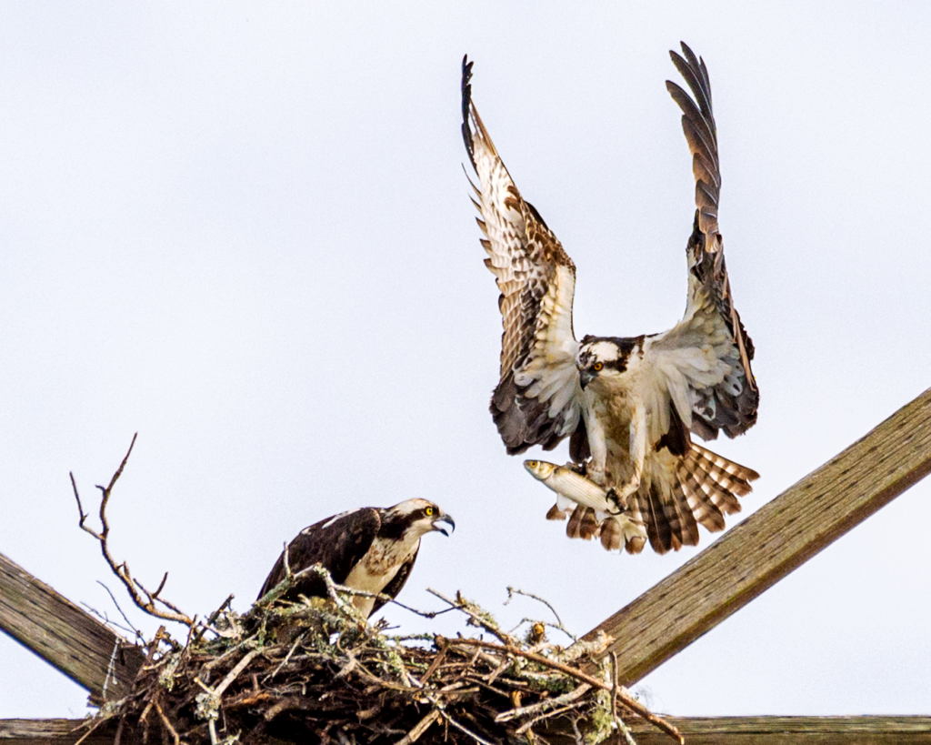 Osprey Mated Pair