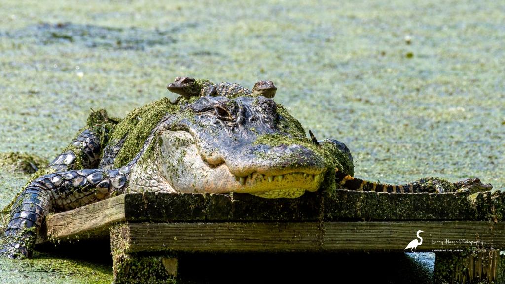 Alligator And Hatchling