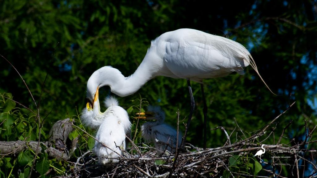 Great Egret Feeding Time