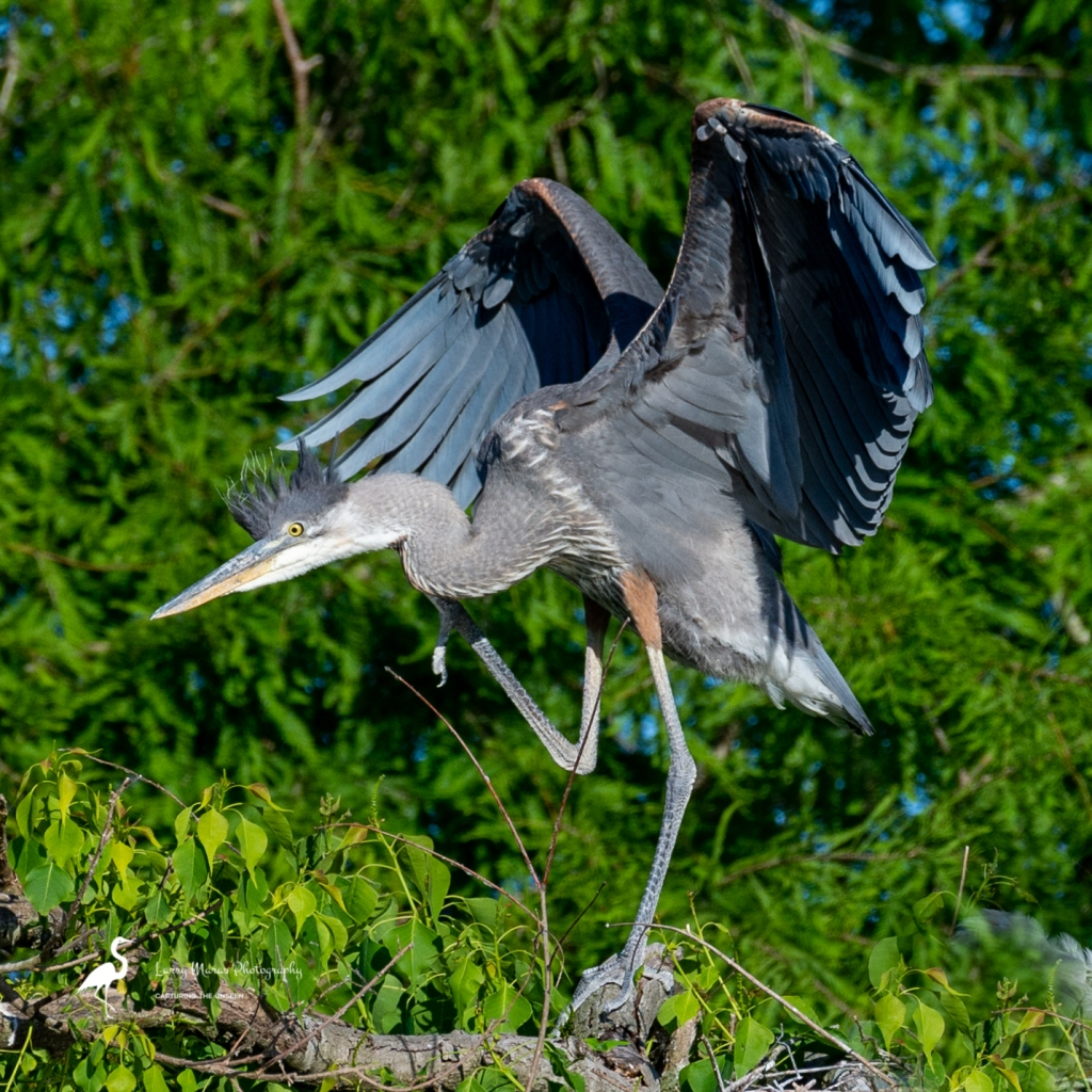 Immature Great Blue Heron