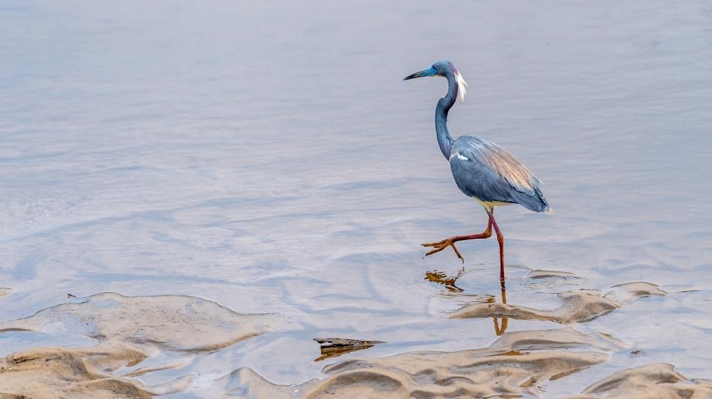Tri-colored Heron In Breeding Plumage Fishing