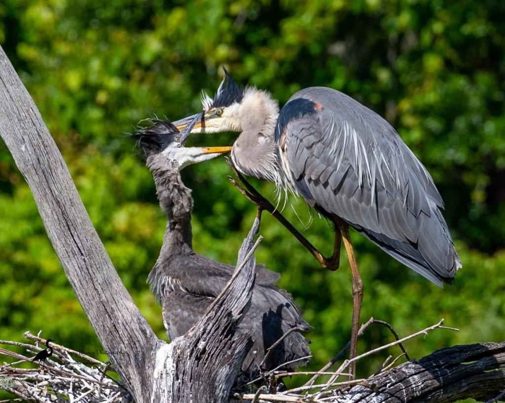 Great Blue Heron Feeding Time