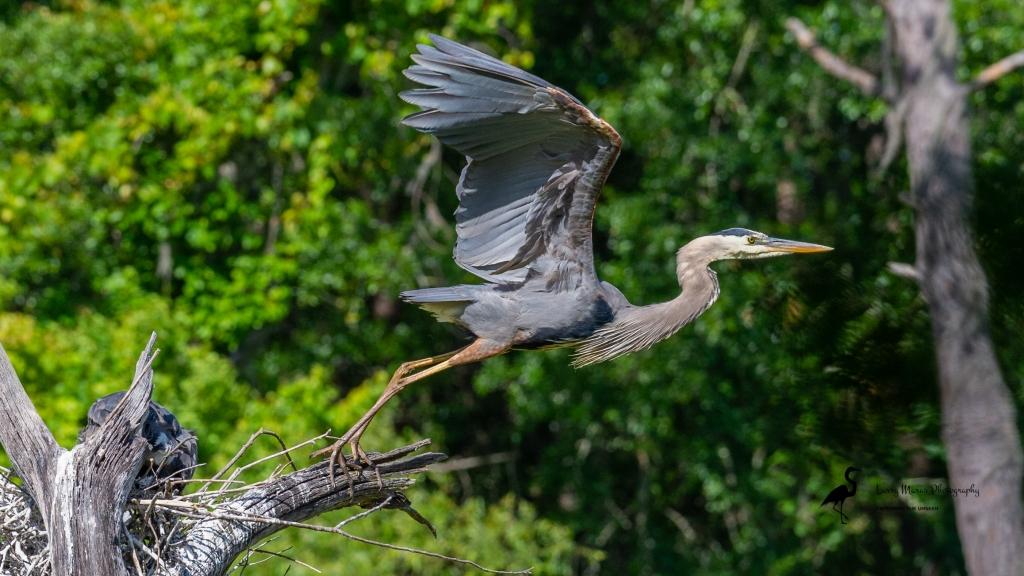 Great Blue Heron Going Fishing