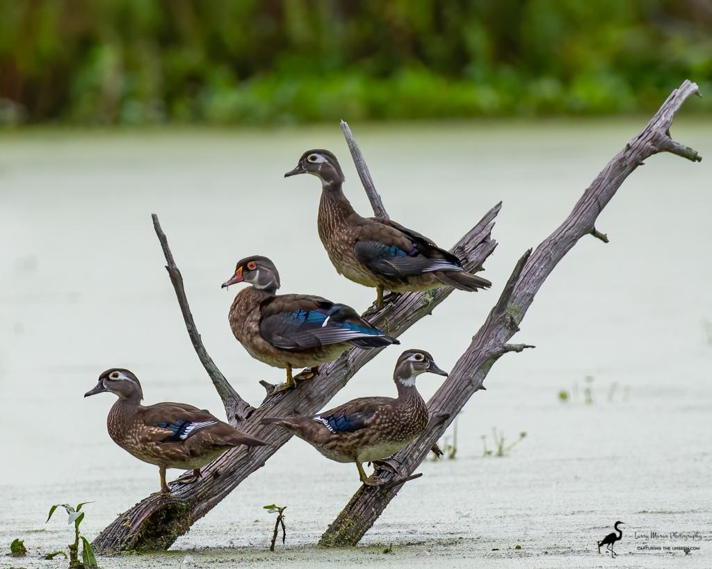 Wood Duck Siblings