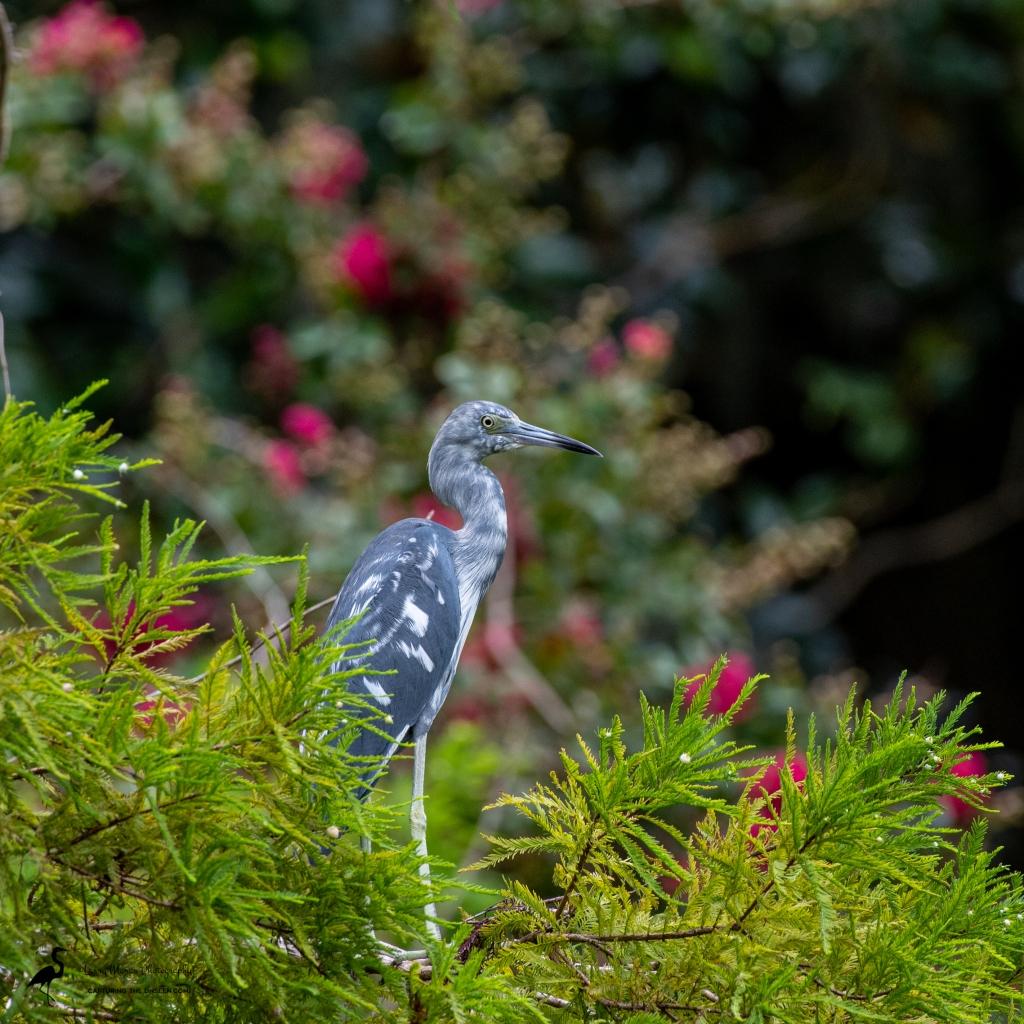 Little Blue Heron, Immature