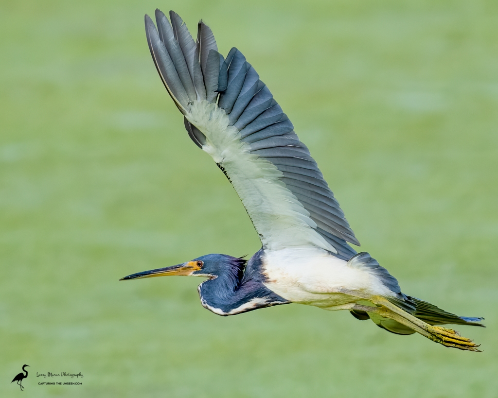 Tri-colored Heron Adult