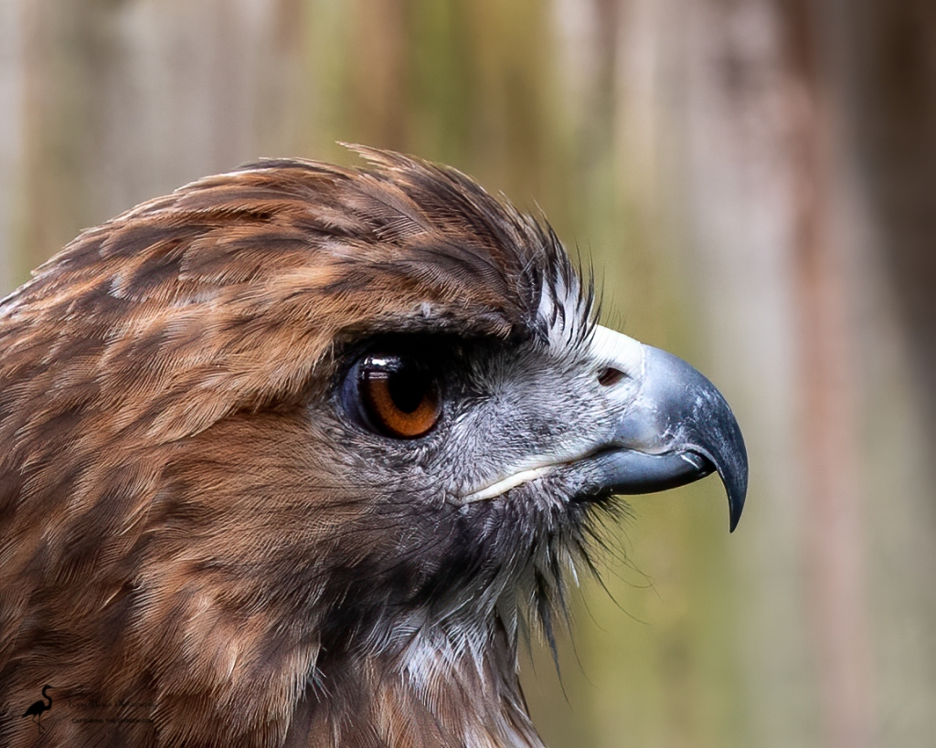 Red-tailed Hawk, captive rescue